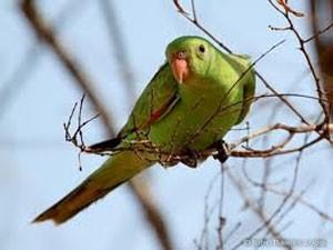 parrot_300