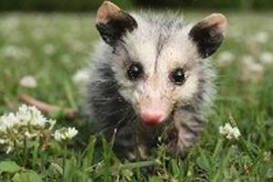 possum_300