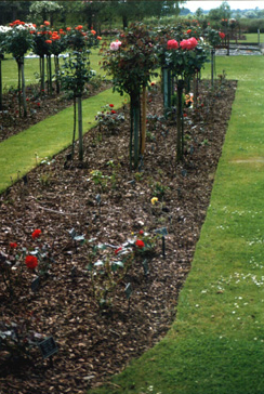 Rose bed before treatment (roses and strip of grass around the bed were sprayed once with the basic application rate)